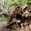 Fallen tree — Stock Photo