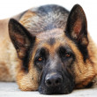 German sheppard - Stock Photo