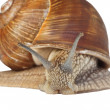 Isolated snail - Stock Photo