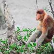 Proboscis monkey long nosed — Stok fotoğraf