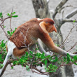 Proboscis monkey long nosed - Stock Photo