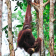 Orangutanf in rainforest — Stock Photo #6664495