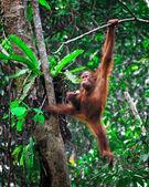 Orangutanf in rainforest — Stock Photo