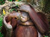 Orangutang portrait — Stock Photo