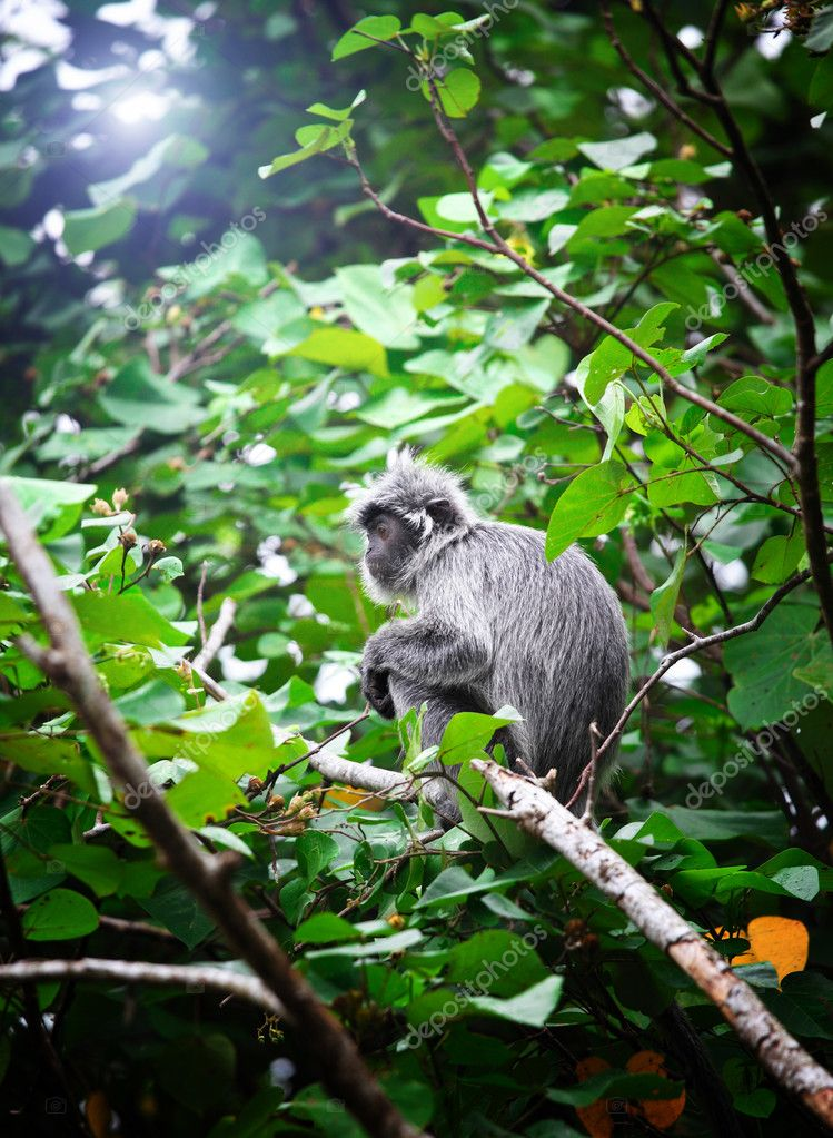 Silver Leave Monkey in bako park, borneo malaysia — Stock Photo #6683465