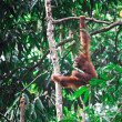 Orangutang in rainforest — Stock Photo #6698078