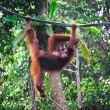 Orangutang in rainforest — Stock Photo #6698137