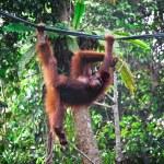 Orangutang in rainforest — Stock Photo #6698137