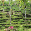Hillside Tea Plantation — Stock Photo