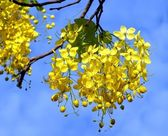 Blossoms of the Golden Chain Tree — Stock Photo