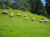 A flock of sheep grazes on lush grass — Stock Photo