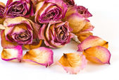 Withered Roses — Stock Photo