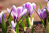 Violet crocus — Stock Photo