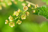 Flowering red currant — Stock Photo