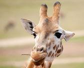 African giraffe up close — Stock Photo
