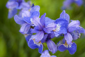 Violet flower - iris — Stock Photo