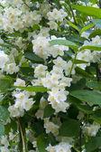 Beautiful fresh jasmine flowers — Stock Photo