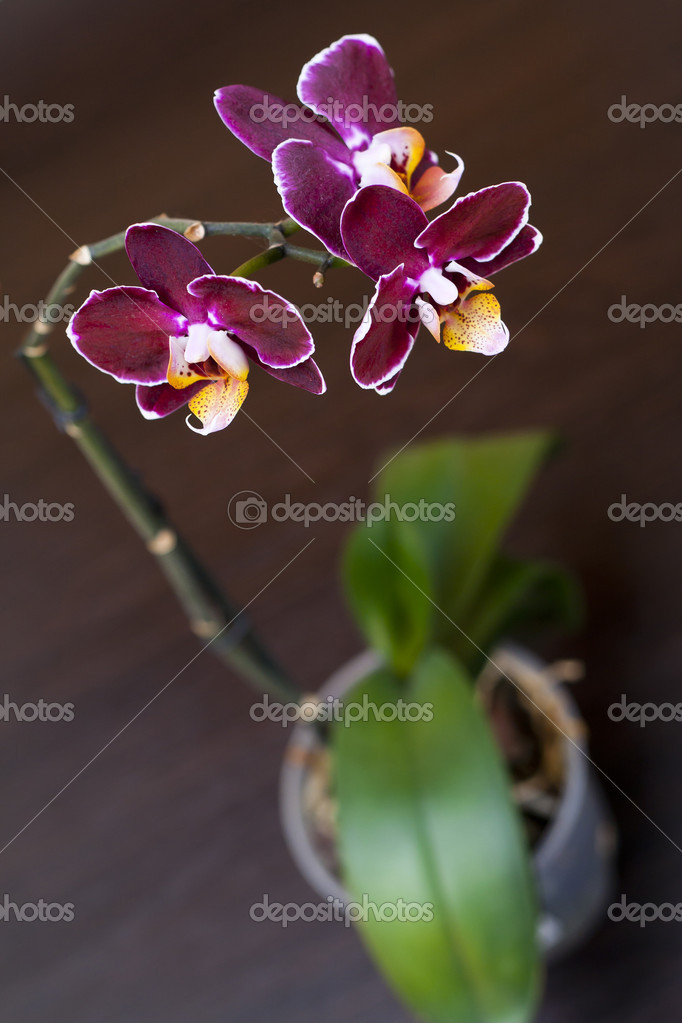 Beautiful perilla purple orchid on dark background — Stock Photo #6206075