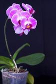 Rosa orchidee — Stockfoto