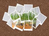 Uprawy trawy, kolaż zdjęć do projektowania — Zdjęcie stockowe