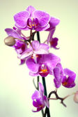 Orchid lilac flowers — Stock Photo