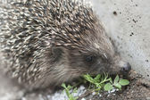 Hedgehog with plant — Stock Photo