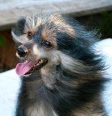 Portrét černého psa — Stock fotografie