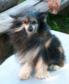 Chinese Crested — Stock Photo