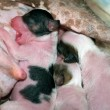 Stock Photo: Newborn puppies
