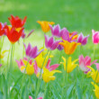Tulips — Stock Photo #5850625