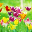 Tulips — Stock Photo #5850627