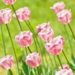Tulips — Stock Photo #5850630