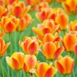 Yellow Tulips — Stock Photo #5850640