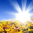 Stock Photo: Flower meadows with shining sun