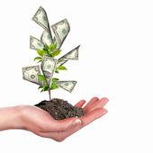 Money Tree — Stock Photo