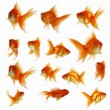 Stock Photo: Gold fish together
