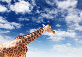 Girafffe agaisnt sky background — Stock Photo