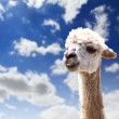 Lama head agaisnt sky background - Stock Photo