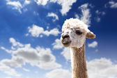 Lama head agaisnt sky background — Zdjęcie stockowe