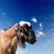 Goat head agaisnt sky background - Stock Photo