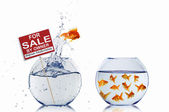 Gold fish in a fishbowl — Stock Photo
