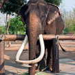 Stock Photo: Thai Elephant.