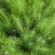 Bushes of horsetail. — Stock Photo