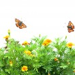 Flowers Tagetes patula and butterflys - Stock Photo