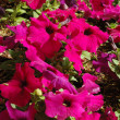 Stock Photo: Bright pink petunias