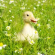Duck in the grass — Stock Photo