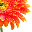 Orange gerbera — Stock Photo #5417683