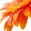 Orange gerbera — Stock Photo #5417687