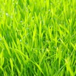 Green lawn — Stock Photo #5479727