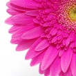 Gerbera flower — Stock Photo #5479744
